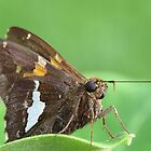 Silver-Spotted Skipper on Milkweed Leaf by Ron Russell