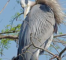 Mother and Her Young (Great Blue Heron) by imagetj