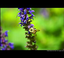 Xylocopa Virginica - Common Eastern Carpenter Bee - Middle Island, New York by © Sophie W. Smith