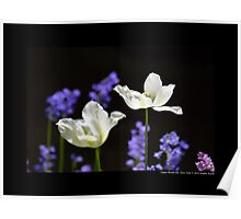 Tulipa Purissima - White Tulips At Full Bloom - Upper Brookville, New York Poster