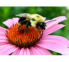 ~ Bumble Bee On A Cone Flower ~ Photographic Print