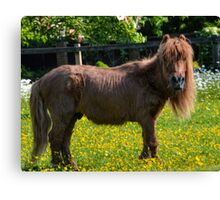 Todd Shetland Pony Canvas Print
