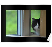 Felis Catus - Maine Coon Cat Hiding From Vacuum Sound  Poster
