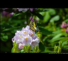 Papilio Eurymedon - Pallid Tiger Swallowtail - Upper Brookville, New York by © Sophie Smith