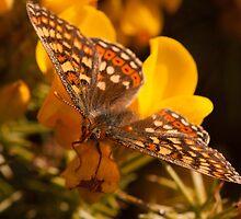 Marsh Fritillary by Jon Lees