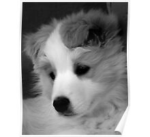 Border Collie Puppy Poster