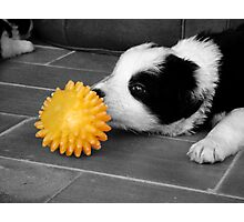 Border Collie Puppy Photographic Print