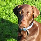 Chocolate Lab by bethscherm