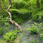 Bluebell Woods by Dave Staton