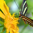 The Zebra Longwing by Dawne Dunton