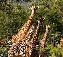 Creche of younge Giraffe - G. camelopardalis - Lake Manyara Tanzania by john  Lenagan