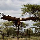Ruppells' Griffon Vulture -  ( Gyps Rueppellii )  Southern Serengeti Tanzania by john  Lenagan