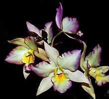 """Orchid Sonata"" by Gail Jones"