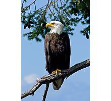Majestic Bald Eagle Photographic Print