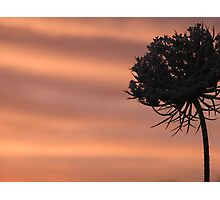 Queen Annes' Lace with the sunset Photographic Print