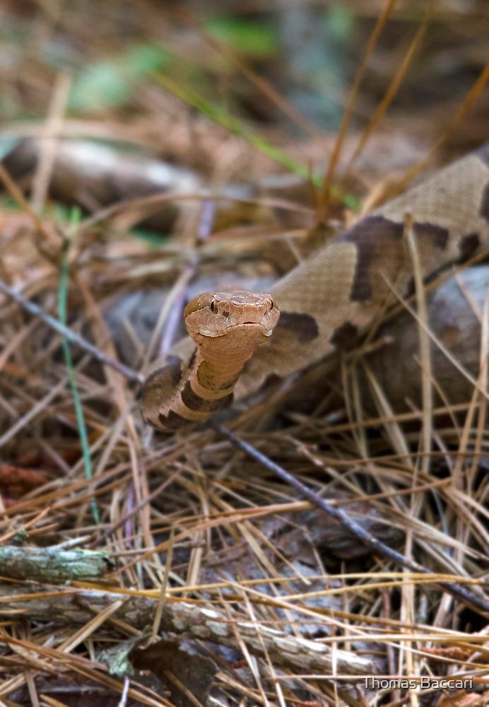 Copperhead Snake by imagetj