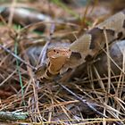 Copperhead Snake by imagetj