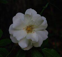 White Rose of May by Paula Tohline  Calhoun
