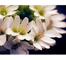 Wildflowers 1 - Hoary Alyssum Photographic Print