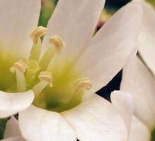 Wildflowers 1 - Hoary Alyssum Sticker