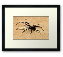 THE BLACK WIDOW SPIDER - member of the genus Latrodectus - Knopies spinnekop Framed Print