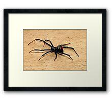 THE BLACK WIDOW SPIDER - member of the genus Latrodectus - Knopies spinnekop Framed Print