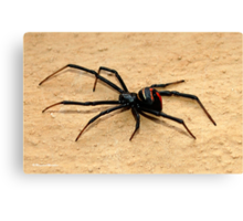 THE BLACK WIDOW SPIDER - member of the genus Latrodectus - Knopies spinnekop Canvas Print