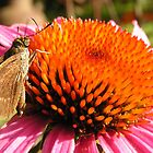~ Moth on a Cone Flower ~ by Brion Marcum