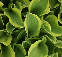 Hosta by Stephen Thomas