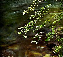 Dogwoods overhanging the Merced River by Edward Mendes