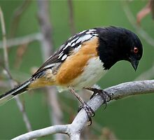 Spotted Towhee by Eivor Kuchta