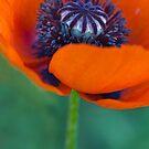 Hot Red Poppy by Rebecca Cozart