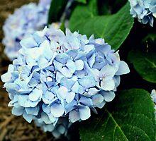 Beautiful Blue Hydrangea's by Scott Mitchell
