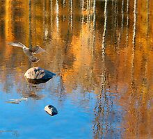 Gull in Fall Reflections by MariarosaR