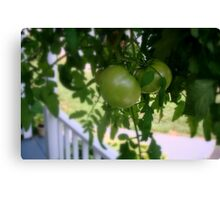 Green Tomatoes     ^ Canvas Print