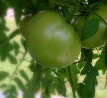 Green Tomatoes     ^ Sticker