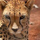 Cheetah by cs-cookie