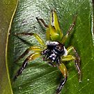 Jumping spider by David Wachenfeld