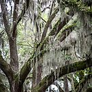 More Spanish Moss by eegibson