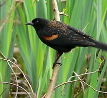 Redwing blackbird by Shannon  Torrey