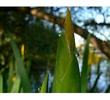 yellow iris1 Photographic Print