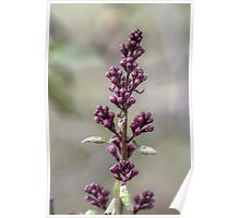 Lilac Flower I Poster