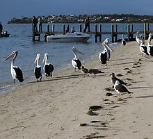 """pelicans waiting for a feed of fish """"guts"""" by gaylene"""