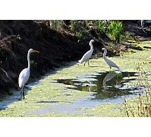 Snow Egret Family Photographic Print