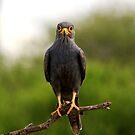 Grey Kestrel  - Falco ardosiaceus  - Tarengerie NP  Tanzania by john  Lenagan