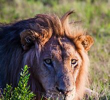 Lions' Stare by Fiona Ayerst