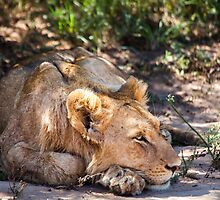 Lioness Rest by Fiona Ayerst