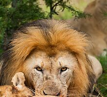 Lion Feed by Fiona Ayerst
