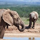 Elephant Splash by Fiona Ayerst