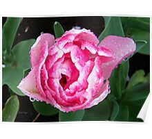 Sparkling Raindrops on a Tulip Poster